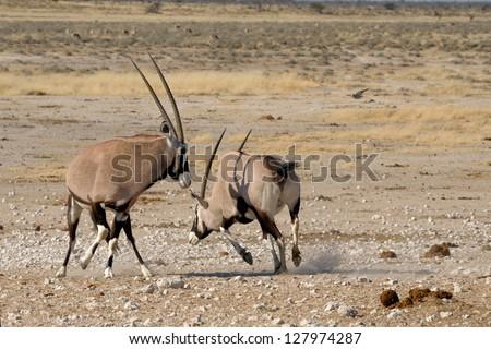 Orix (Gemsbok) fighting, Nebrownii waterhole, Etosha National Park, Namibia - stock photo