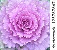 ornamental decorative cabbage close-up - stock photo