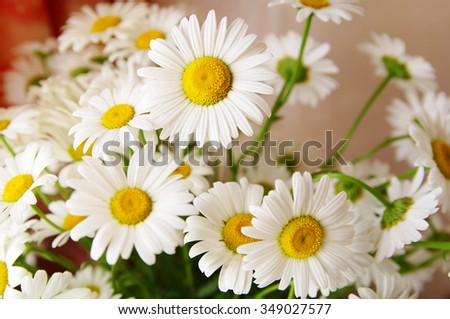 ornamental flowers big white camomile closeup, local  focus, shallow DOF  - stock photo