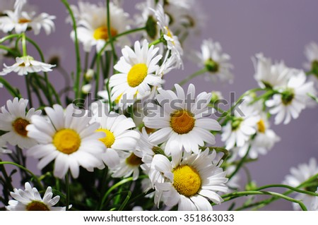 ornamental flowers big white camomile closeup, local focus, shallow DOF, toned  - stock photo