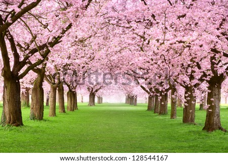 Ornamental garden with majestically blossoming large cherry trees on a fresh green lawn - stock photo
