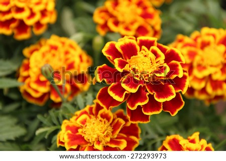 Ornamental marigolds - stock photo