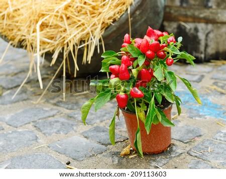 Ornamental pepper in a pot - stock photo