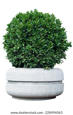 Ornamental shrub in a pot with clipping path  - stock photo
