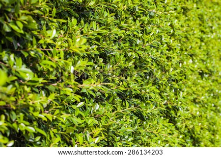 Ornamental shrubs ,Wall shrubs in outdoor - stock photo