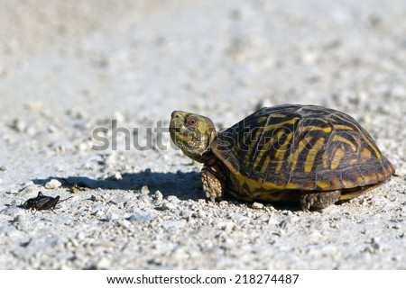 Ornate Box Turtle encounters a cricket at Quivira National Wildlife Refuge in Kansas - stock photo