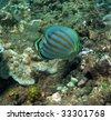 Ornate Butterflyfish - stock photo