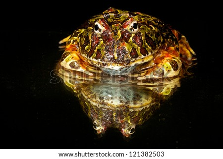 Ornate horned frog on black with mirrored reflection - stock photo