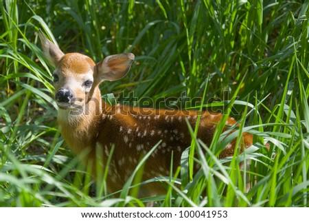 Orphan Whitetail Deer - stock photo