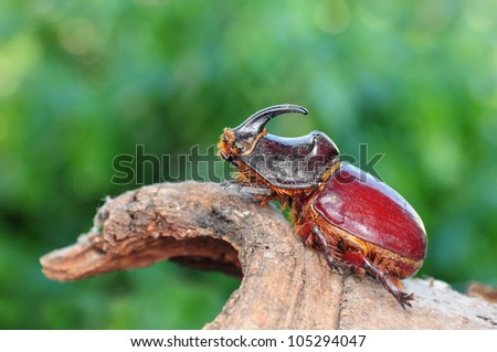 Oryctes nasicornis, beetle - stock photo