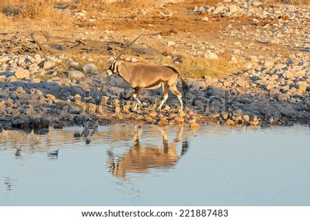 Oryx at sunset, Okaukeujo waterhole, Etosha National Park, Namibia  - stock photo
