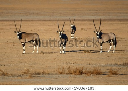 Oryx / Gemsbok at Sossusvlei in the Namib Desert, Namibia, Africa - stock photo