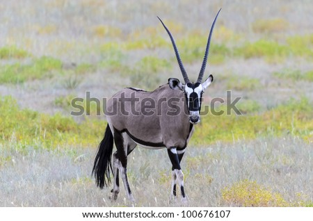 Oryx (Gemsbok) in the riverbed in Kgalagadi Transfrontier park, South Africa - stock photo