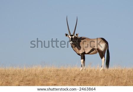 Oryx (Gemsbok) – Oryx gazella - stock photo