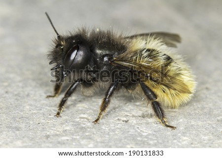 Osmia cornuta / solitaire bee close-up - stock photo
