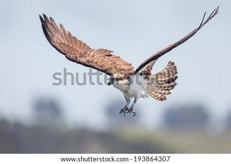 Osprey - stock photo