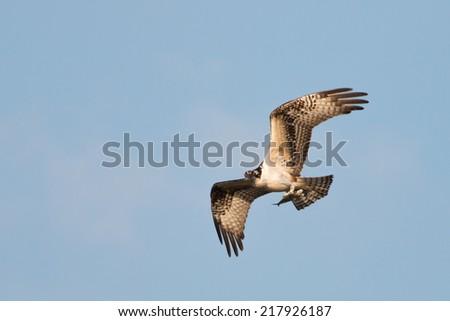 Osprey carrying dinner - stock photo