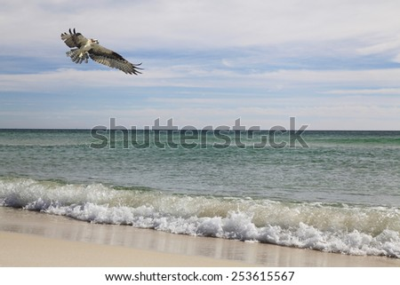 Osprey Flies Over the Beach in Search of Fish - stock photo