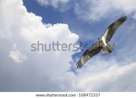 Osprey Flying Among the Clouds - stock photo