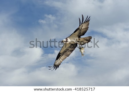 Osprey flying in the clouds over the Chesapeake Bay with a fish - stock photo