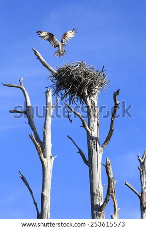 Osprey Landing on It's Nest With A Stick for Repairs - stock photo