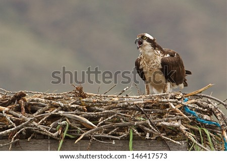 Osprey on nest of twigs, string, and twine atop a man made nesting platform Ospreys are also known as  Sea Hawks, Seahawks, Fish Hawk, Sea Eagle, Pandion haliaetus    - stock photo