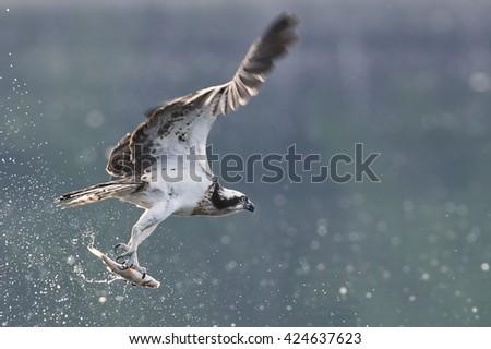 Osprey (Pandion haliaetus) - stock photo