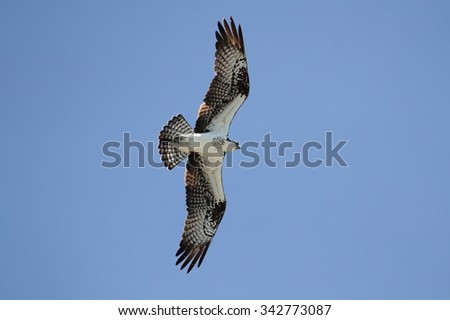 Osprey (pandion haliaetus) in flight with a blue sky background - stock photo