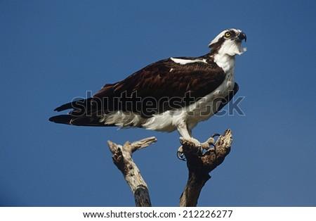 Osprey (Pandion haliaetus) perching on branch - stock photo