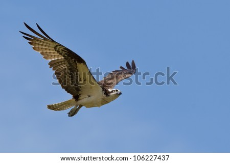 Osprey (Pandion haliaetus).  The Osprey, sometimes known as the sea hawk, fish eagle or fish hawk, is a diurnal, fish-eating bird of prey. - stock photo