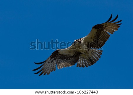 Osprey (Pandion haliaetus).  The Osprey, sometimes known as the sea hawk, fish eagle or fish hawk, is a diurnal, fish-eating bird of prey. - stock photo