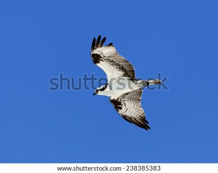 Osprey (Sea Hawk) in flight against blue sky - stock photo