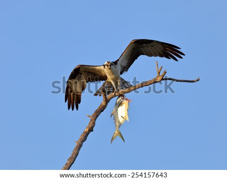 Osprey (Sea Hawk) with fish and open wings - stock photo