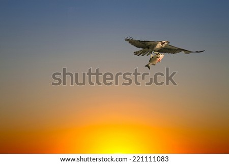 Osprey (Sea Hawk) with fish flying at Sunset - stock photo