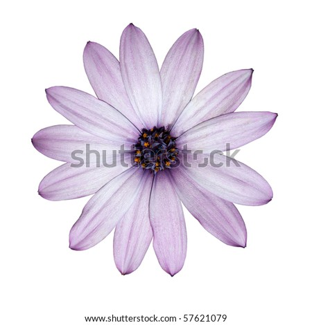 Osteospermum - Beautiful Light Purple Daisy Flower Head top view isolated on white background. Top view - stock photo