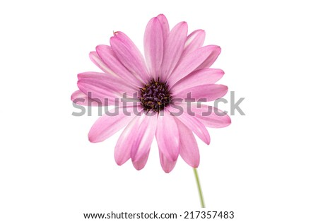 Osteospermum Daisy or Cape Daisy Flower Flower Isolated over White Background. Macro Closeup - stock photo
