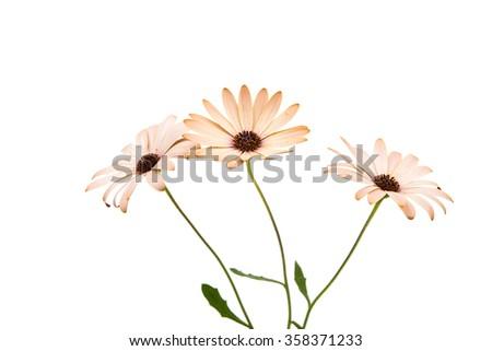 Osteospermum Daisy or Cape Daisy Flower Flower Isolated over White Background. Macro Closeup - stock photo