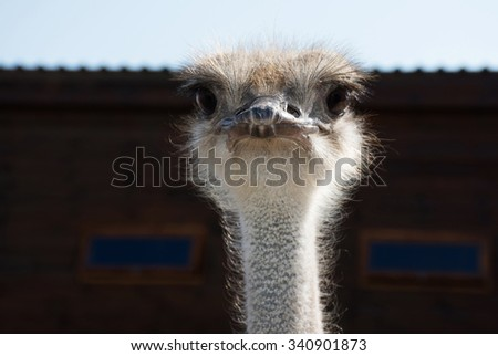 ostrich closeup - stock photo