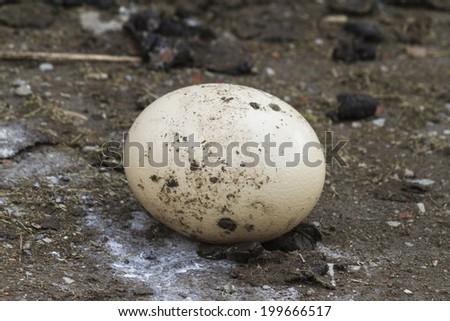 ostrich egg - stock photo