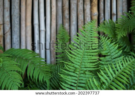 ostrich fern or shuttlecock fern leaves (Matteuccia struthiopteris) with bamboo background - stock photo