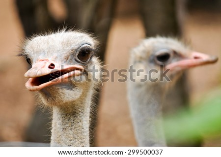Ostrich has large eyes and big eyes. - stock photo