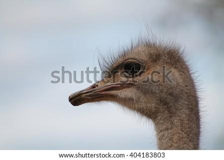 ostrich head - stock photo