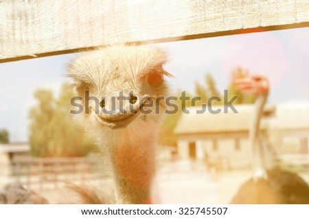Ostrich head close up in ostrich farm. - stock photo