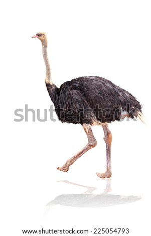 Ostrich isolated on white background with clipping path - stock photo