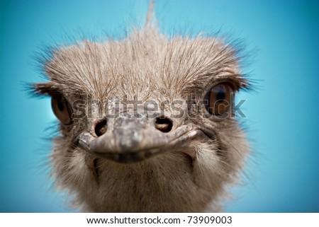 ostrich portrait close up - stock photo