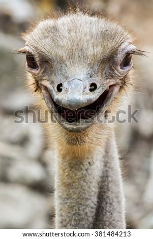 Ostrich smile - stock photo