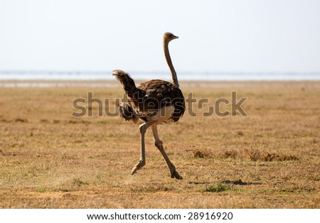 Ostrich (Struthio camelus) - large flightless bird native to Africa. - stock photo