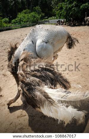 Ostriches farm in Johor, Malaysia. - stock photo