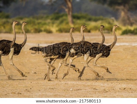 Ostriches run over dry river bed in the wilds of Africa - stock photo