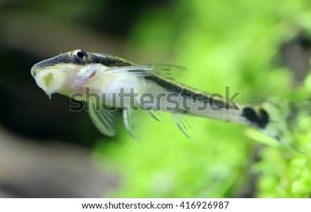 Otocinclus in planted aquarium - stock photo